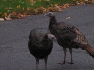 Wild_Turkeys
