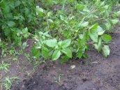 Freshly planted basil.