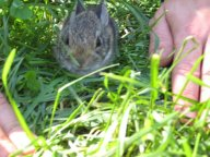 We had baby bunnies in the back a few years ago.