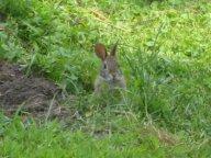 Baby bunny getting bigger.