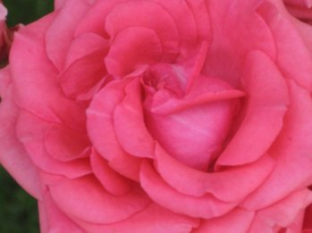 A rose from the rose bushes at the side of our front yard.