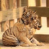 From here: http://lolcuteanimals.com/post/77857481213/tiger-cub-hugs